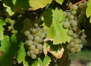 folle blanche grapes